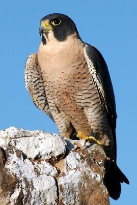 peregrine-falcons-3